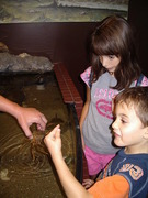 Touching horseshoe crabs at the Virgina Living Museum.